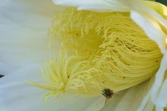 Abeja y flor de la fruta del dragón Fotos de archivo