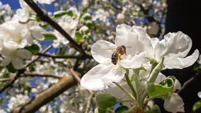 Abeja y flor de la manzana Foto de archivo libre de regalías