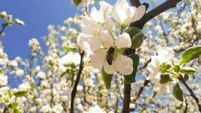 Abeja y flor de la manzana Fotos de archivo libres de regalías
