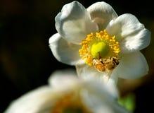 Abeja y flor de la miel Fotos de archivo