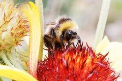 Abeja y flor de la miel del primer Imagen de archivo libre de regalías