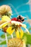 Abeja y flor de la miel del primer Fotos de archivo