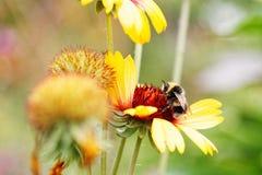Abeja y flor de la miel del primer Imagenes de archivo