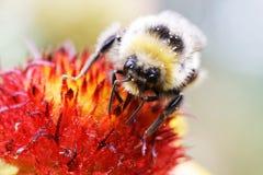 Abeja y flor de la miel del primer Foto de archivo