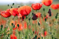 Abeja y flor de las amapolas Imagen de archivo