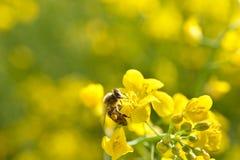 Abeja y flor de las semillas oleaginosas Imagenes de archivo
