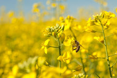 Abeja y flor de las semillas oleaginosas Foto de archivo
