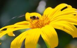 abeja y flor de Sun Foto de archivo libre de regalías