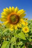 abeja y flor de Sun Foto de archivo