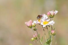 Abeja y flor de trabajo del crisantemo Foto de archivo libre de regalías