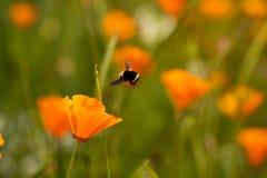Abeja y flor del acercamiento de aterrizaje Fotografía de archivo