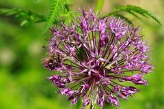 Abeja y flor del allium Imágenes de archivo libres de regalías