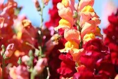 Abeja y flor del antirrino Fotos de archivo