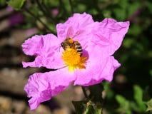 Abeja y flor del resorte Imagen de archivo libre de regalías