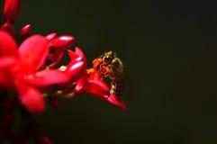 Abeja y flor del rojo carmesí Imagen de archivo libre de regalías