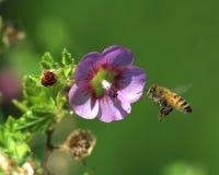 Abeja y flor del vuelo Fotografía de archivo