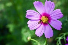 Abeja y flor en el jardín Imagenes de archivo