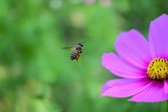 Abeja y flor en el jardín Imagen de archivo libre de regalías