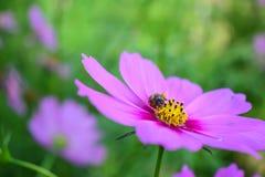 Abeja y flor en el jardín Foto de archivo libre de regalías