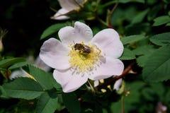 Abeja y flor en parque de la ciudad del verano foto de archivo libre de regalías
