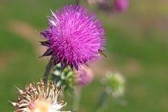 Abeja y flor floreciente Foto de archivo