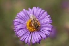 Abeja y flor púrpura Fotos de archivo libres de regalías