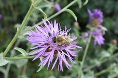 Abeja y flor púrpura Foto de archivo libre de regalías