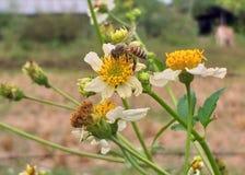 Abeja y flor Abeja y polen fotos de archivo