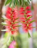 Abeja y flor roja del árbol del botella-cepillo Fotos de archivo libres de regalías