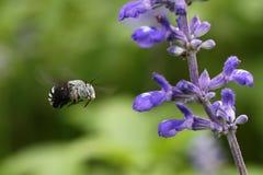 Abeja y flor violeta Imagen de archivo