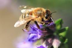 Abeja y flor violeta Foto de archivo libre de regalías