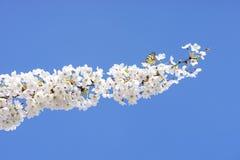 Abeja y floración de los árboles Fotos de archivo libres de regalías