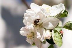 Abeja y flores Fotos de archivo