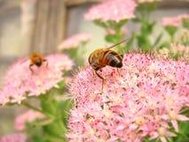 Abeja y flores Fotografía de archivo libre de regalías