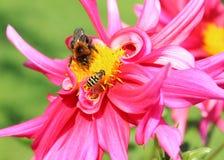 Abeja y flores Fotografía de archivo