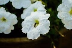 Abeja y flores Imagen de archivo libre de regalías