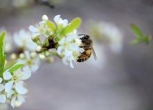 Abeja y flores Foto de archivo libre de regalías