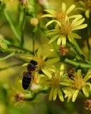 Abeja y flores amarillas Fotos de archivo