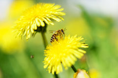 Abeja y flores amarillas Foto de archivo libre de regalías