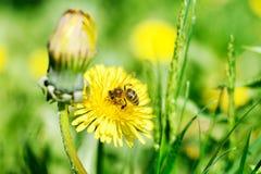 Abeja y flores amarillas Fotos de archivo libres de regalías
