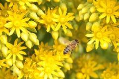 Abeja y flores amarillas Imagenes de archivo