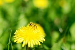 Abeja y flores amarillas Foto de archivo