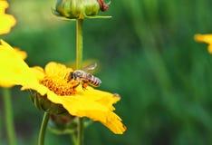 Abeja y flores amarillas en un parque Imágenes de archivo libres de regalías