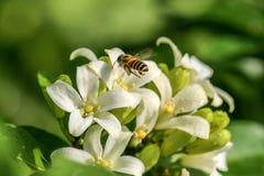 Abeja y flores anaranjadas-jessamine Fotos de archivo libres de regalías