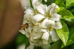 Abeja y flores anaranjadas-jessamine Foto de archivo libre de regalías