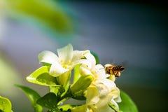 Abeja y flores anaranjadas-jessamine Fotografía de archivo libre de regalías