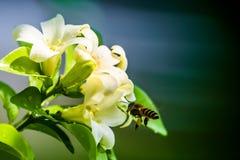 Abeja y flores anaranjadas-jessamine Fotos de archivo
