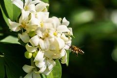 Abeja y flores anaranjadas-jessamine Fotografía de archivo