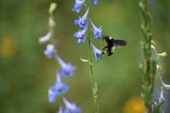 Abeja y flores azules Imagenes de archivo