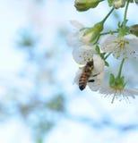 Abeja y flores blancas Fotografía de archivo